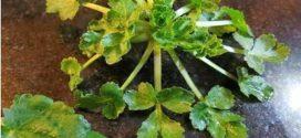 ویژگیها و خواص گیاه چوچاق یا زولنگ